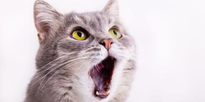 un-gatto-con-la-bocca-aperta