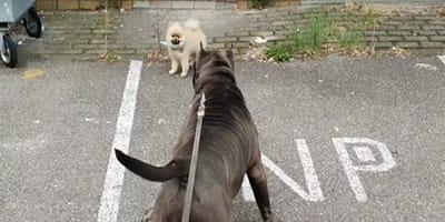 video perro pomerania encuentra perro american bully