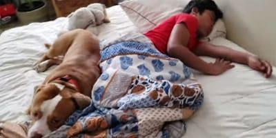 Pitbull cachorrito no permite que nadie toque a su niño humano mientras duerme