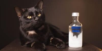 Czarny kot z butelką wódki.