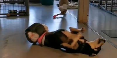 Hund robbt ohne Hinterbeine durch das Tierheim