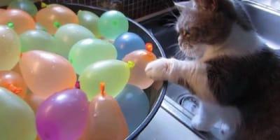 Munckin cat pops water balloons