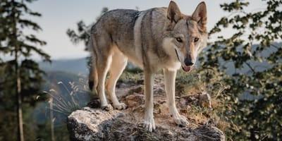 Wolfshybride: Was es mit der Mischung aus Hund und Wolf auf sich hat