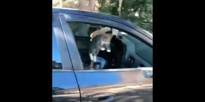 gatto vola fuori dal finestrino di un'auto