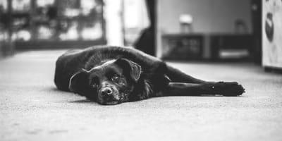 Cane anziano steso a terra con piometra