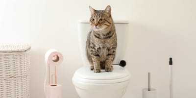 Training a cat to use a human toilet