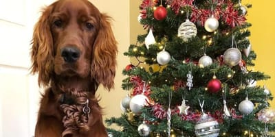 Red Setter next to Christmas tree