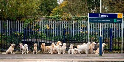 Golden retrievery na stacji kolejowej