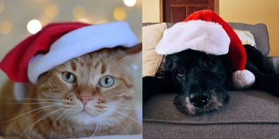Cat and dog wearing Christmas hats