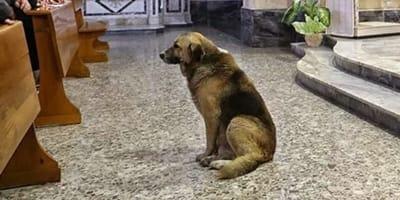 Owczarek Tommy czeka w kościele