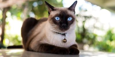 gatto-di-razza-siamese