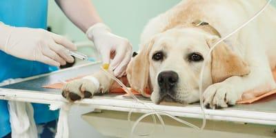 grupo sanguineo perro