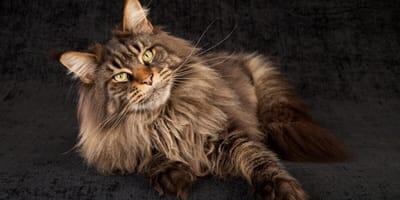gatto-di-razza-maine-coon