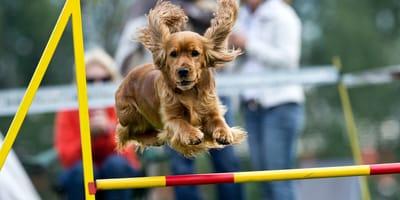 Agility - na czym polega ten psi sport i jak zacząć go uprawiać?