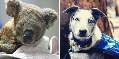 ¡De película! Perro héroe salva koalas de morir calcinados