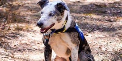 Rescue dogs protecting Aussie wildlife