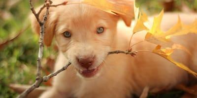 cucciolo goldador nella natura
