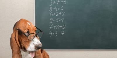 perro calculando
