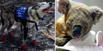 Pies Bear i uratowana koala