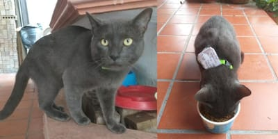 Grey cat wearing new collar