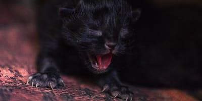 gato dramatico llorando