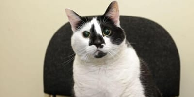Paisley Britain's fattest cat