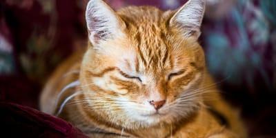 Rote Katze mit geschlossenen Augen