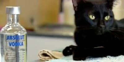 Vodka saves poorly kitty's life