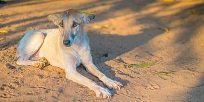 Síntomas y tratamientos de un perro desnutrido y deshidratado
