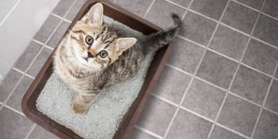 Conseguir que tu gato orine en el arenal