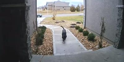 labrador frente a la casa