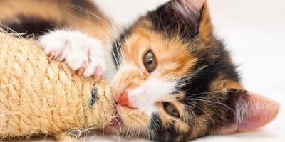 Los gatos tricolor siempre son hembras?
