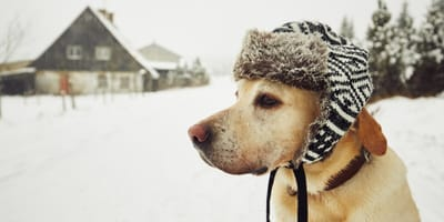 Golden Labrador in the snow with a hat