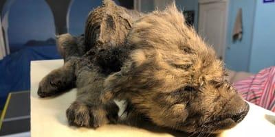 Sensationsfund in Sibirien: Eingefrorener Welpe hat ein unglaubliches Geheimnis