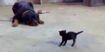 Schwarzes Kätzchen provoziert Riesen-Rottweiler. Alle halten die Luft an!