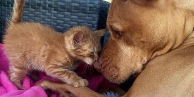 Kätzchen stupst riesigen Pitbull. Ob das nur gut gehen kann?