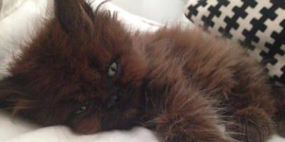Ten brązowy kotek ledwo przeżył. Dziś jest zupełnie innym zwierzakiem