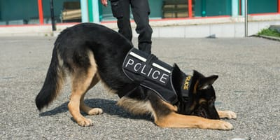 pastor aleman policia olfateando