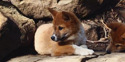 lobo adoptado