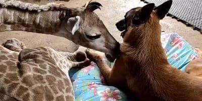 Porzucona przez matkę żyrafa, znajduje psiego opiekuna o wielkim sercu