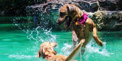 Cosa sapere sui cani che giocano?
