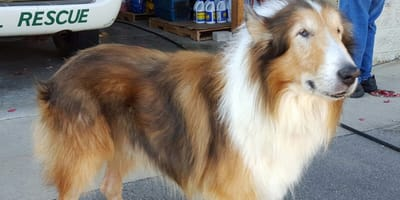 old rough collie