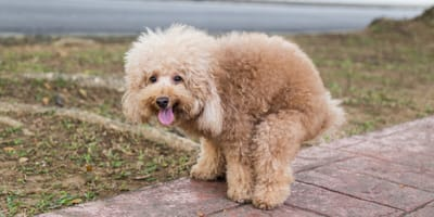 Your dog is constipated? Here are the top 5 natural remedies for your dog