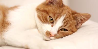 Rak wątroby u kota: objawy i leczenie