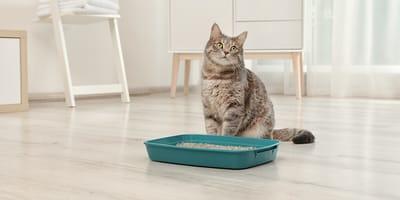gatto con lettiera verde