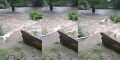 Montage of rescue of Panama dog from river