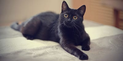Eine schwarze Katze verwirrt alle