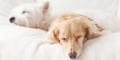 Hunde schlafen