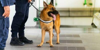 Schäferhund am Flughafen