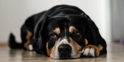 Quali sono i problemi neurologici nel cane anziano?